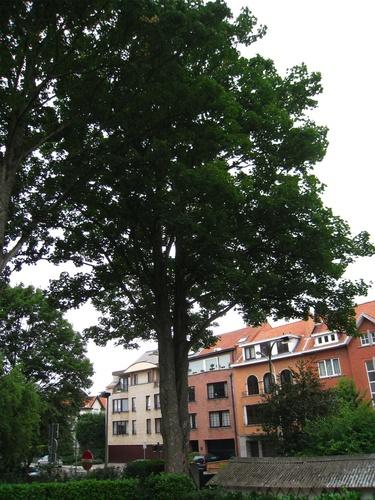 Erable sycomore – Anderlecht, Avenue d'Itterbeek, 236-238 –  28 Août 2008