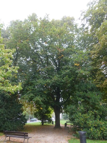 Tilleul à petites feuilles – Watermael-Boitsfort, Square de l'Arbalète –  08 Septembre 2014