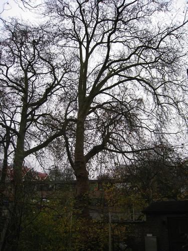 Platane à feuille d'érable – Forest, Avenue de Haveskercke, 78/84 –  19 Novembre 2008