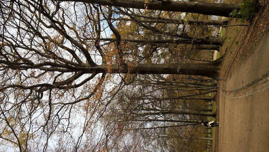 Chêne pédonculé<br>Bruxelles Bois de la Cambre