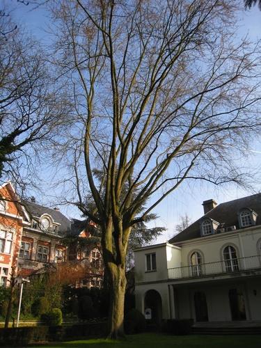 Erable argenté – Bruxelles, Avenue Franklin Roosevelt, 71 –  25 Février 2009