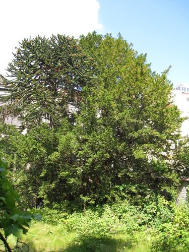 Venijnboom – Brussel, Troonsafstandsstraat, 35 –  23 Juni 2009