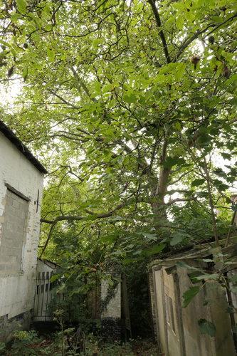 Noyer royal – Bruxelles, Ferme Den Bels, Rue de Beyseghem, 56 –  04 Septembre 2019