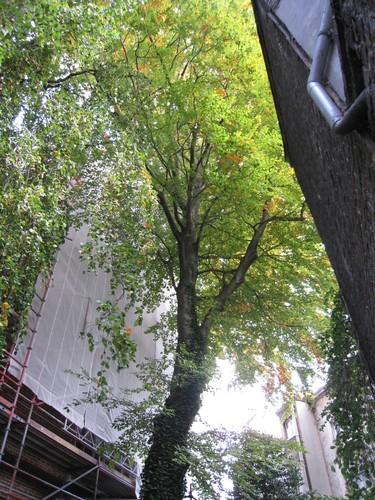 Hêtre d'Europe – Ixelles, Rue de la Paix, 21 –  27 Octobre 2009