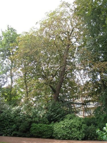 Marronnier commun – Ixelles, Avenue du Derby, 12 –  10 Septembre 2009