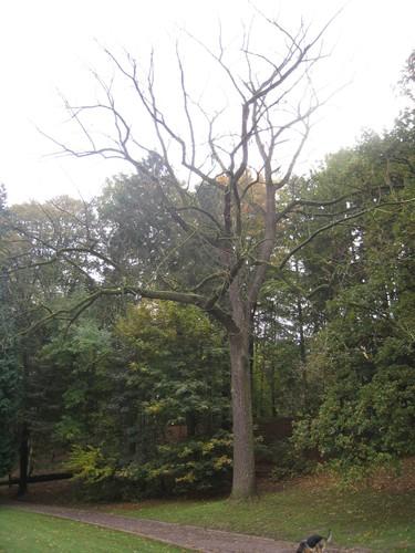 Noyer noir – Woluwé-Saint-Pierre, Parc de Woluwe –  30 Octobre 2009