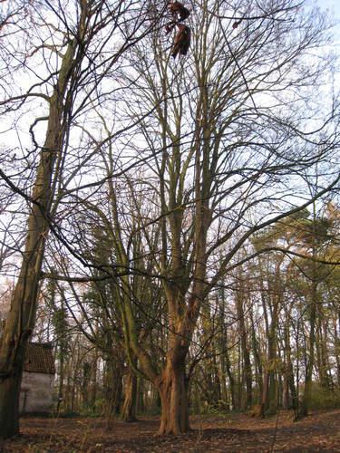 Erable sycomore – Woluwé-Saint-Lambert, Moulin de Lindekemaele et abords, Avenue Jean-François Debecker, 38-40 –  01 Décembre 2009