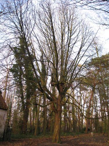 Marronnier commun – Woluwé-Saint-Lambert, Moulin de Lindekemaele et abords, Avenue Jean-François Debecker, 38-40 –  01 Décembre 2009
