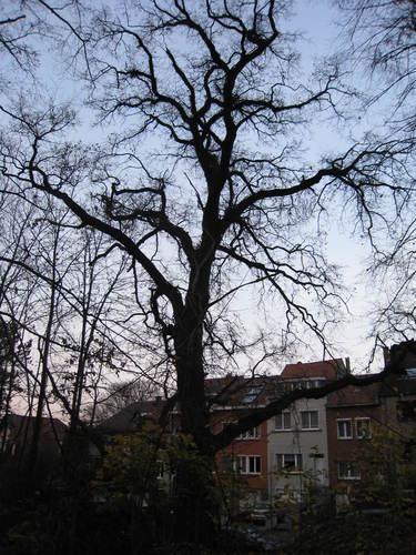 Chêne pédonculé – Woluwé-Saint-Lambert, Moulin de Lindekemaele et abords, Avenue Jean-François Debecker –  01 Décembre 2009