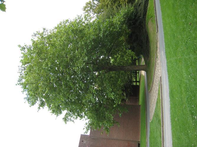 Platane à feuille d'érable – Ixelles, Campus de la Plaine, Boulevard du Triomphe –  12 Septembre 2007