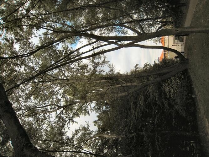 Peuplier grisard – Ixelles, Campus de la Plaine, Boulevard du Triomphe –  12 Septembre 2007