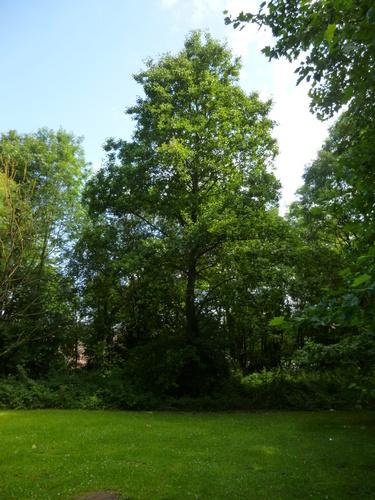 Aulne à feuilles cordées – Ixelles, Campus de la Plaine, Boulevard du Triomphe –  14 Juillet 2014