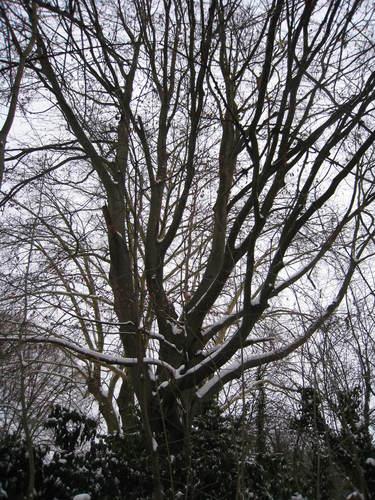 Hêtre d'Europe – Ixelles, Chaussée de Boitsfort, 40 –  21 Décembre 2009