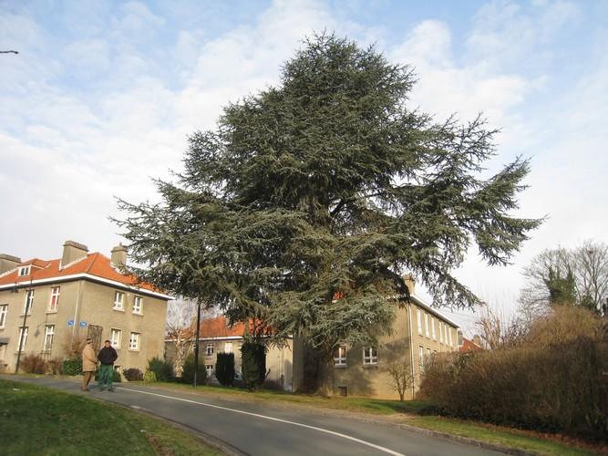 Cèdre bleu de l'Atlas – Watermael-Boitsfort, Cités-Jardin Le Logis et Floréal, Rue des Cyclamens –  27 Janvier 2010
