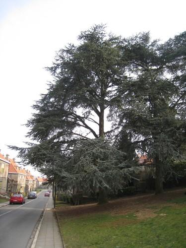 Cèdre bleu de l'Atlas – Watermael-Boitsfort, Cités-Jardin Le Logis et Floréal, Rue des Silènes –  27 Janvier 2010