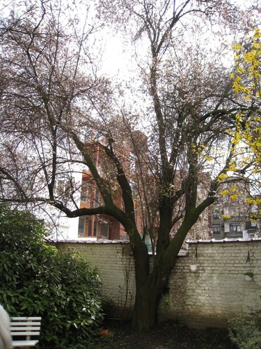 Prunier myrobolan – Schaerbeek, Avenue de l'Opale, 51 –  01 Avril 2010