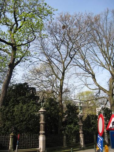 Noorse esdoorn – Brussel, Plantsoen van de Kleine Zavel, Kleine Zavel –  09 April 2010