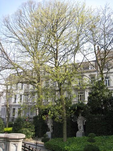 Aesculus flava – Brussel, Plantsoen van de Kleine Zavel, Kleine Zavel –  09 April 2010