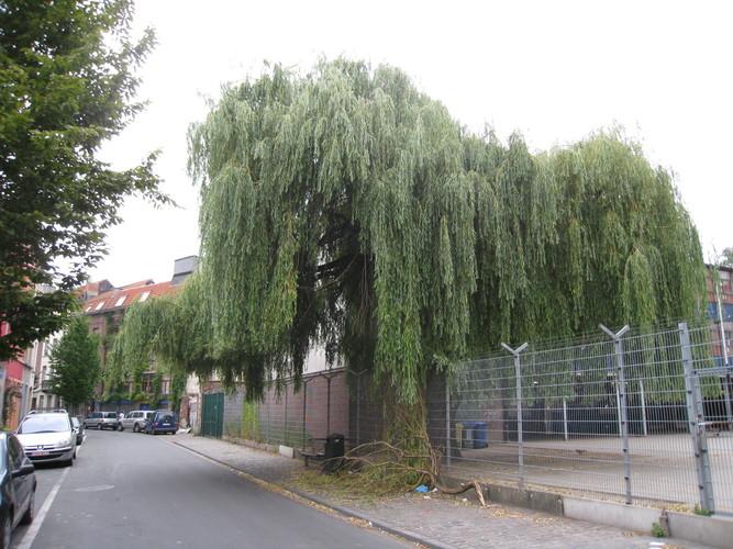 Saule pleureur – Anderlecht, Rue de la Rosée, 3 –  05 Juillet 2010