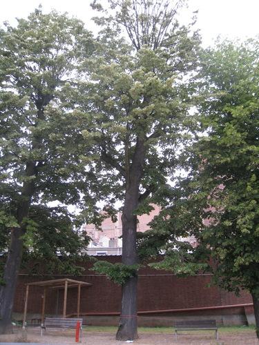 Zilverlinde – Anderlecht, Ropsy Chaudronstraat, 7 –  05 Juli 2010