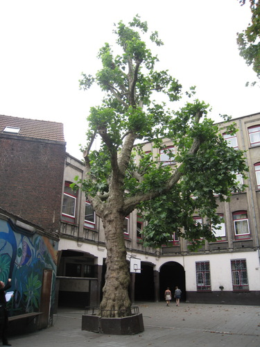 Gewone plataan – Anderlecht, de Fiennesstraat, 52-54 –  05 Juli 2010