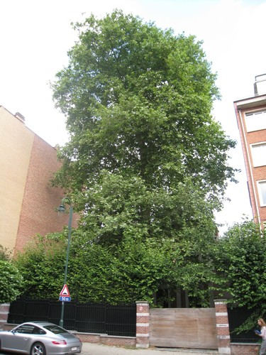 Platane à feuille d'érable – Uccle, Avenue Bel-Air, 9 –  05 Août 2010