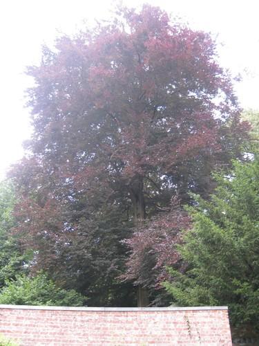 Hêtre pourpre – Uccle, Avenue Winston Churchill, 232 - 236 –  05 Août 2010