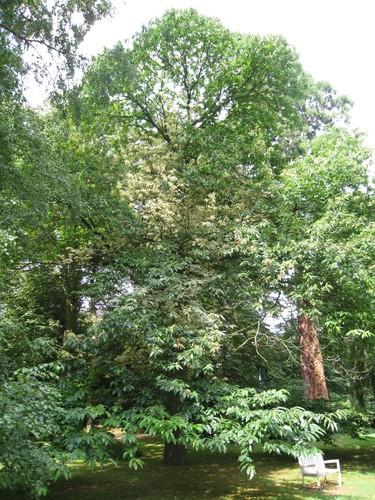 Castanea sativa f. aureomarginata – Ukkel, Winston Churchilllaan, 232 - 236 –  05 August 2010