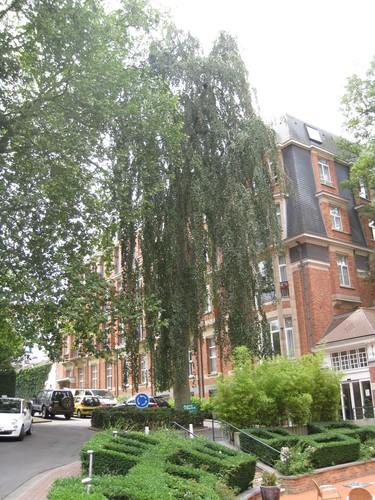 Hêtre pleureur – Uccle, Avenue Winston Churchill, 253b –  05 Août 2010