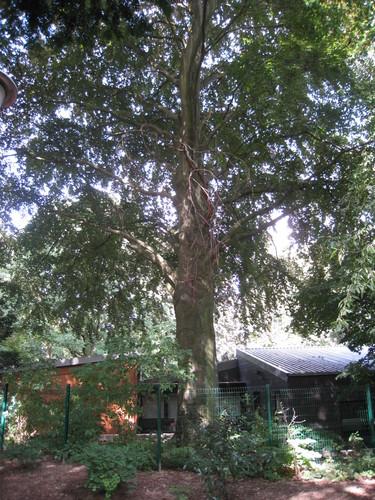 Hêtre pourpre – Uccle, Avenue Winston Churchill, 159 –  09 Août 2010