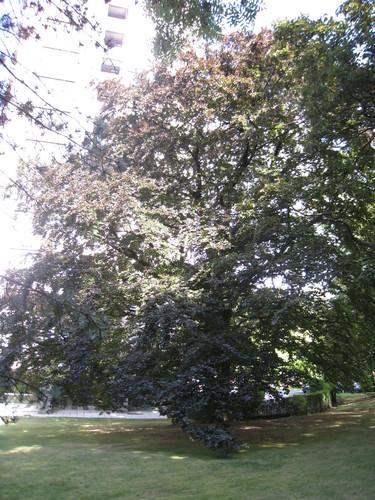 Hêtre pourpre – Uccle, Avenue Winston Churchill, 161-163 –  10 Août 2010