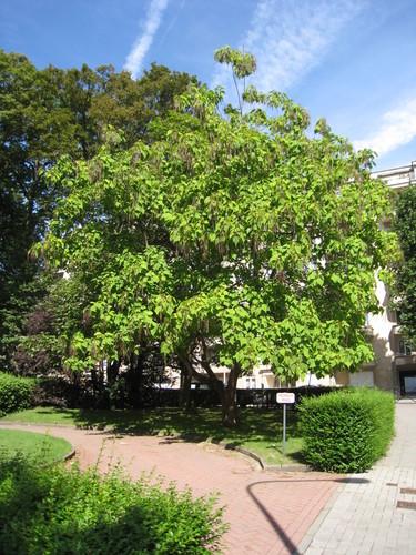 Catalpa à feuilles d'or – Uccle, Avenue de Messidor, 207 –  19 Août 2010