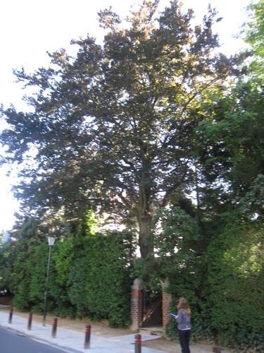 Hêtre pourpre – Uccle, Avenue Léo Errera, 90 –  19 Août 2010