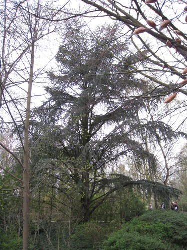 Cèdre bleu de l'Atlas – Evere, Rue de la Marne, 89 –  07 Avril 2009