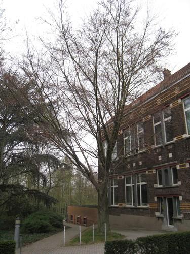 Hêtre pourpre – Evere, Rue de la Marne, 89 –  07 Avril 2009