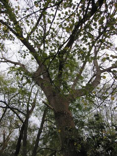 Peuplier du Canada – Woluwé-Saint-Lambert, Bosquet marécageux du