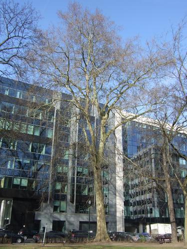 Gewone plataan – Brussel, Plantsoen de Meeûs op Brussel –  09 February 2011