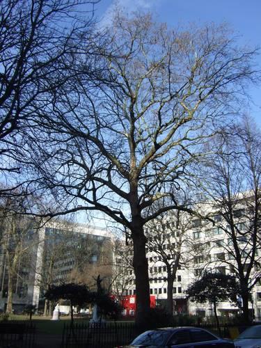 Platane à feuille d'érable – Bruxelles, Square de Meeûs sur Bruxelles, Square de Meeûs –  09 Février 2011