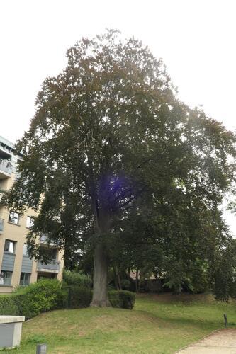 Hêtre pourpre – Koekelberg, Rue François Delcoigne –  20 Août 2020