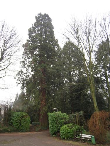 Sequoia géant – Bruxelles, Parc Solvay Sports, Avenue du Pérou, 80 –  24 Février 2011