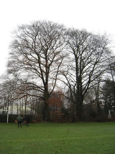 Hêtre pourpre – Bruxelles, Parc Solvay Sports, Avenue du Pérou, 80 –  24 Février 2011