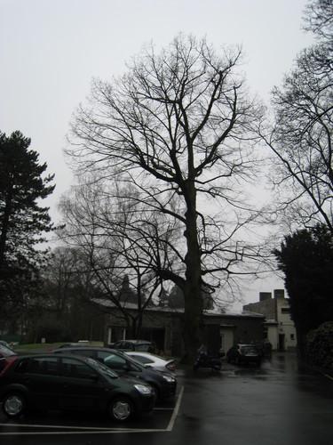 Tilleul à larges feuilles – Bruxelles, Parc Solvay Sports, Avenue du Pérou, 80 –  24 Février 2011