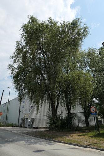 Salix babylonica 'Tortuosa'<br>Anderlecht Quai d'Aa, 7a
