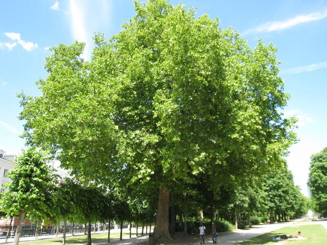 platane à feuille d'érable, bruxelles, parc de bruxelles (platanus x