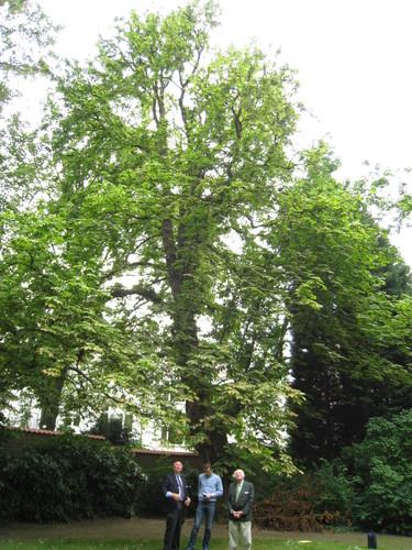 Marronnier commun – Etterbeek, Avenue de Tervueren, 66 –  14 Juin 2011