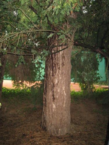 Pin noir – Bruxelles, Parc Solvay Sports, Avenue du Pérou, 80 –  28 Avril 2011