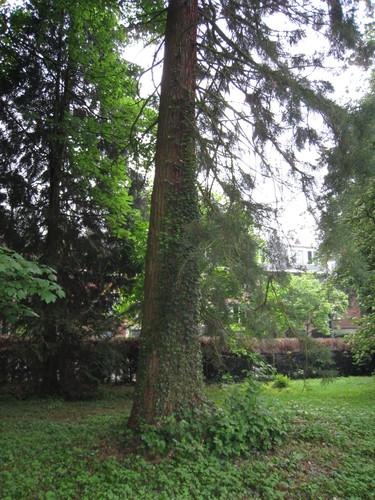 Sequoia géant – Bruxelles, Parc Solvay Sports, Avenue du Pérou, 80 –  28 Avril 2011