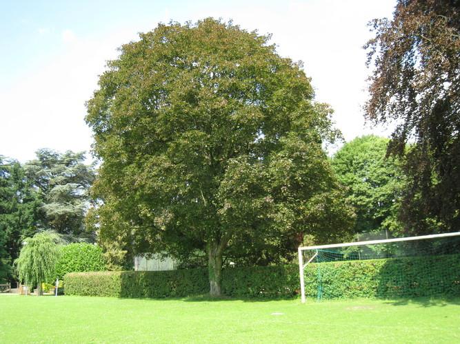 Acer platanoides f. schwedleri – Bruxelles, Parc Solvay Sports, Avenue du Pérou, 80 –  30 Juin 2011