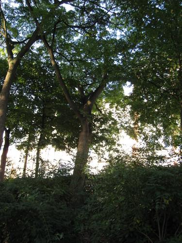 Phellodendron amurense – St.- Lambrechts - Woluwe, Vergote square, Vergoteplein –  16 September 2011