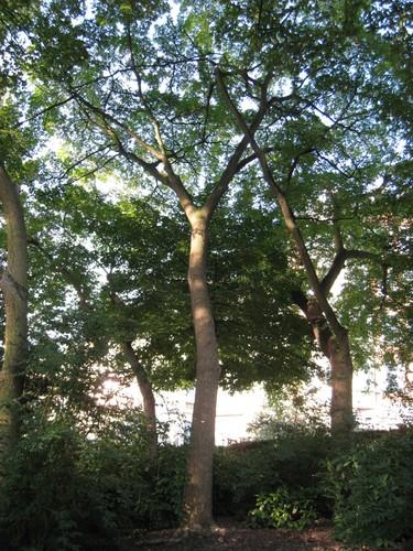 Phellodendron de l'amour – Woluwé-Saint-Lambert, Square Vergote, Square Vergote –  16 Septembre 2011